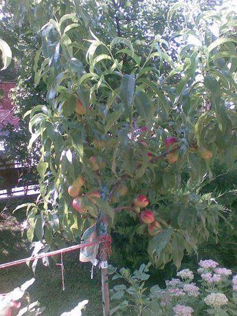 pomi fructiferi in ghiveci