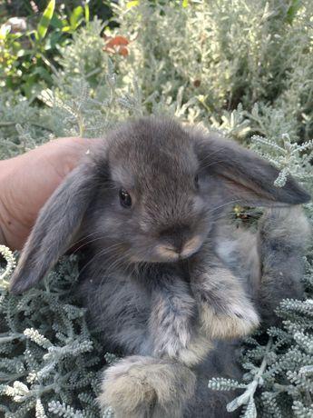 Кролик декоративный карликовый вислоухий