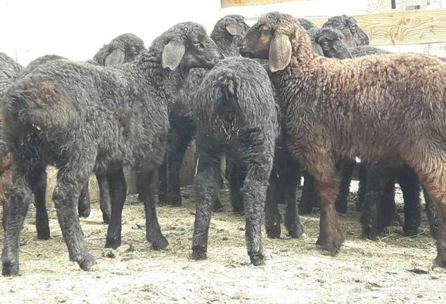 Бычки крс телята тёлочки бузаулар бузау дорперы ягнята овечки барани
