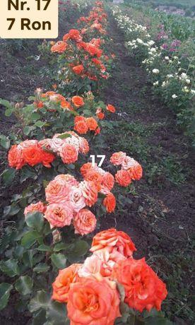 Butasi de trandafiri in ghiveci