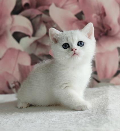 Британские котята, мальчик,  шиншилла
