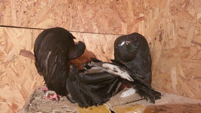 Голуби павлины чёрные