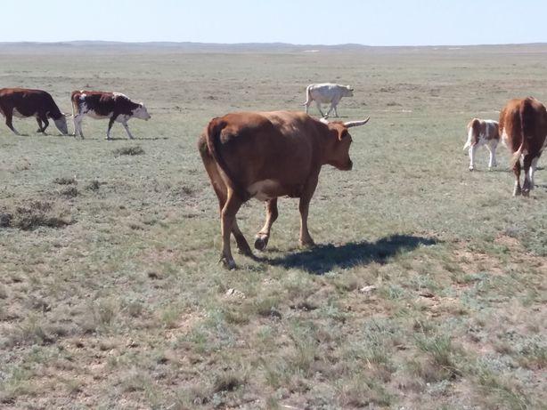 Продам.1 корову 8 подсос бычки