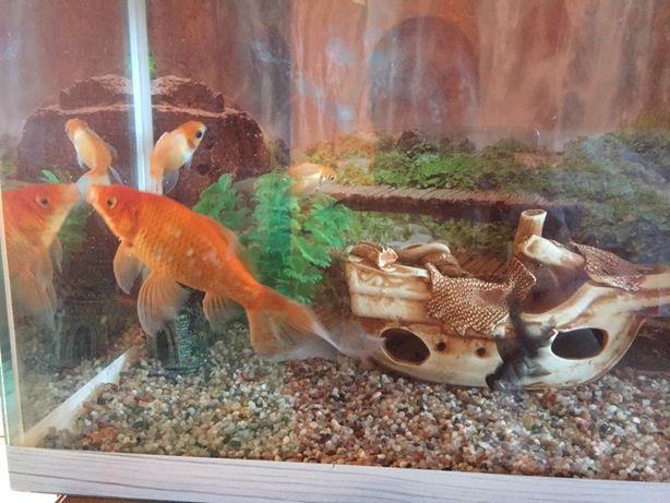 Золотые рыбки большие