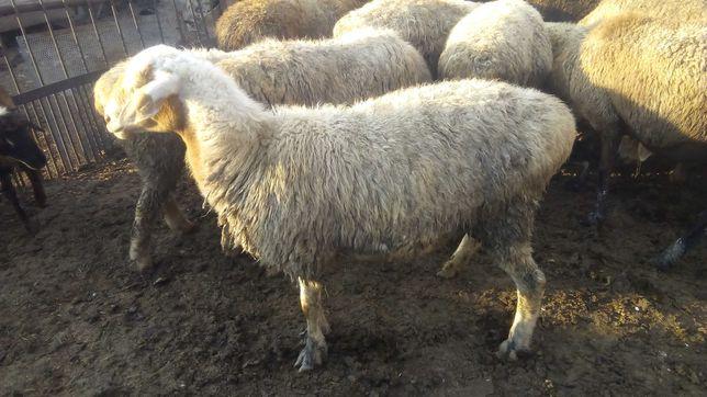 Продам или обменяю на отходы овец и тоқты