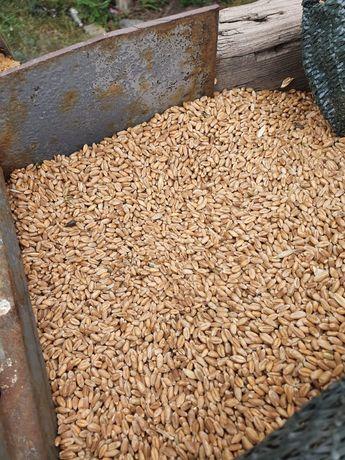 Продаётся пшеница 125тнг