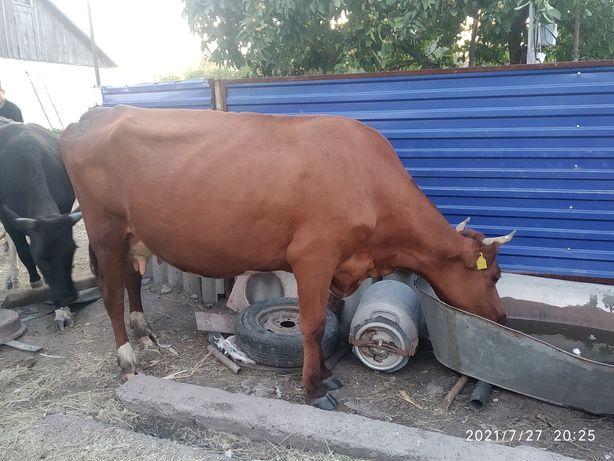 Продам хороших молодых коров