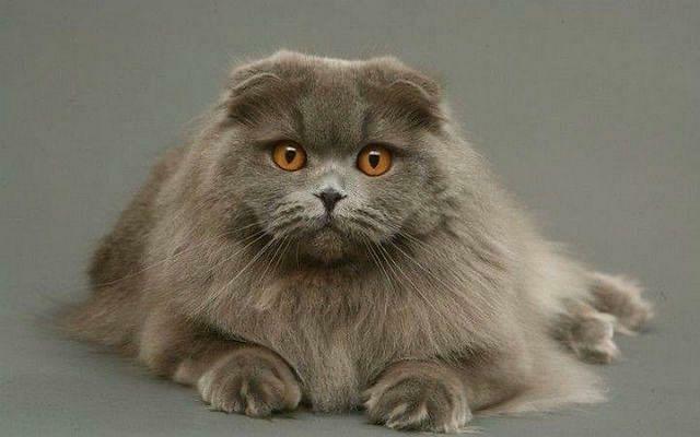Вязка породистого Кота
