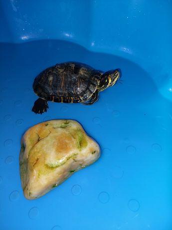 Broaște țestoase