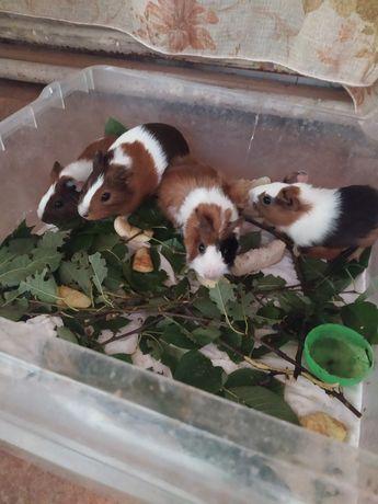 Домашние морские свинки