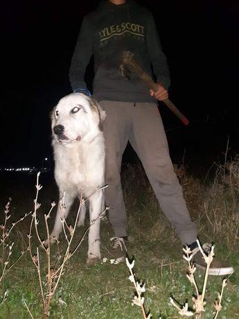 Vand câine ciobănesc bun la oi are 1 an jumate
