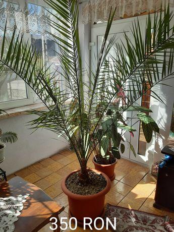 Vand palmier Phoenix canariensis