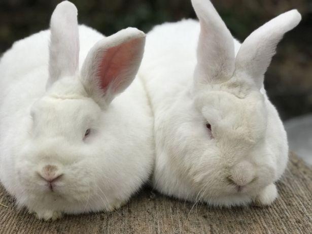 Кролики НЗБ