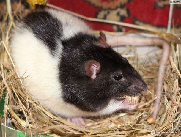 Отдам двух крыс чёрно-белых