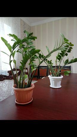 комнатных растений доллара 1 метр