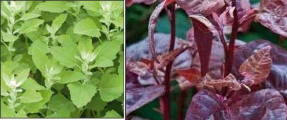 seminte loboda verde/rosie - plic 0.4grame