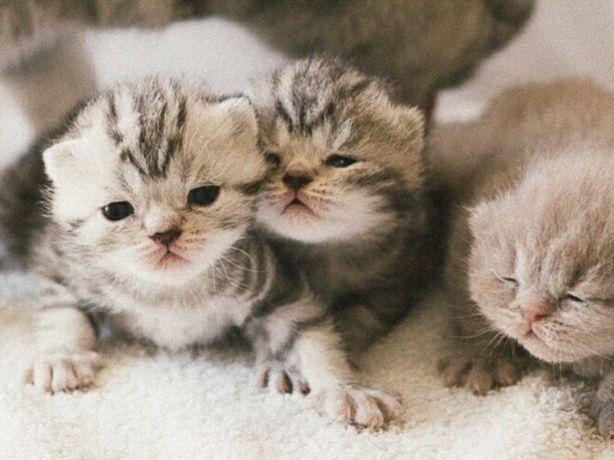 Британские котята в резерв