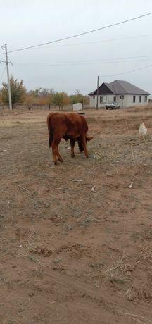 Продам теленка бычка 6мес