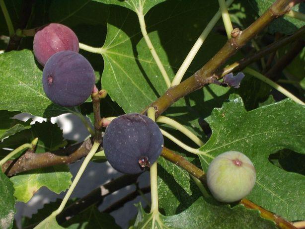 Smochini, Smochin Pom sau Tufa la ghiveci, Aloe Vera, Lamai, Ficus,