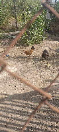 Карликовая курица