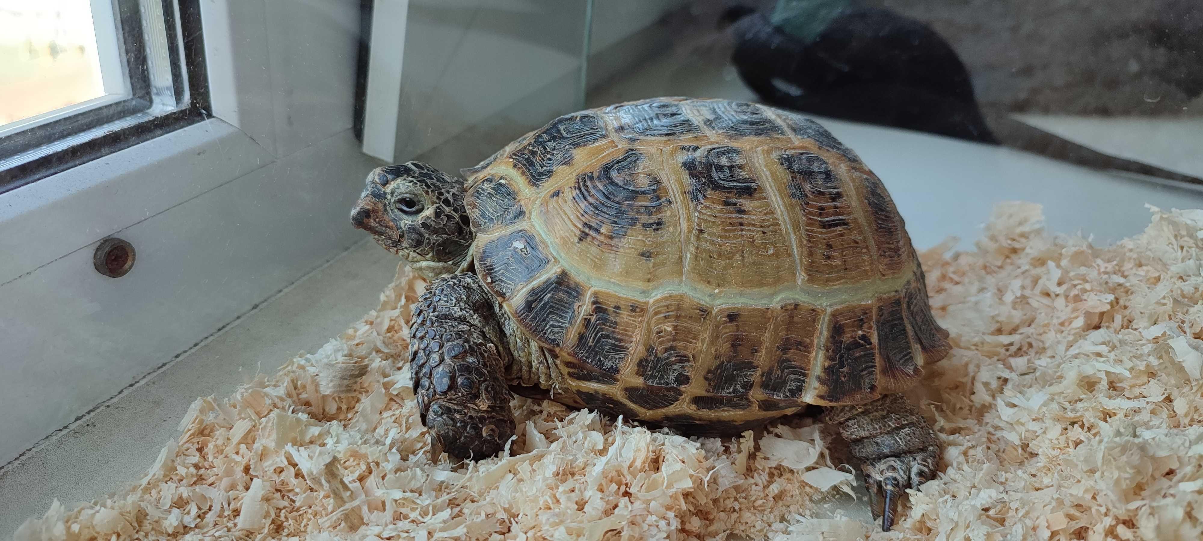 Продам среднеазиатскую черепаху