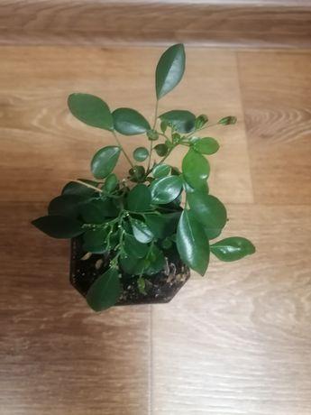 Продам растение Муррайя