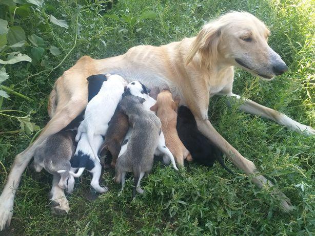 Продаю щенков тазы