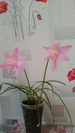 Цветы выскочка или зефирантес