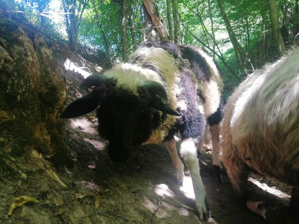 Vând 2 berbecuți brezi
