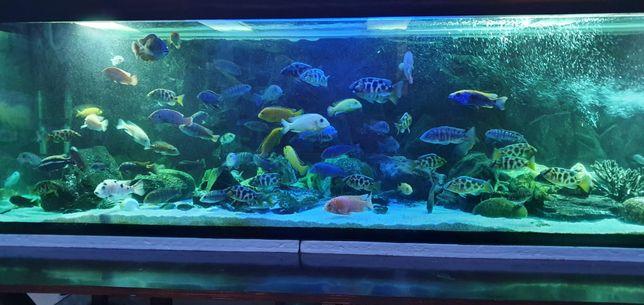 Vand acvariu cu filtre si sistem CO2. Pachet complet pesti ciclide