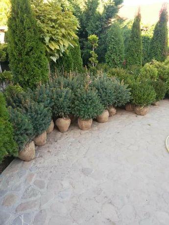 Avem o gamă largă de plante ornamentale Tuia brad mesteacăn magonolia