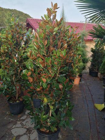 Vind și livrez plante ornamentale