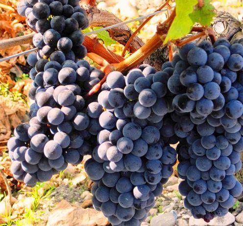 Struguri de casa pentru vin