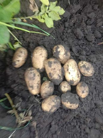 Картофель оптом Железинка