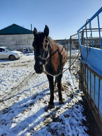 Лошадь ездовая жорга
