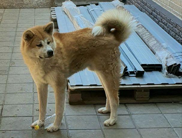 Продаю подрощенных щенков Японской Акиты