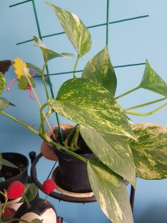 Epiprеnium aureum Дяволски бръшлян