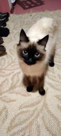 Сиамская кошка .