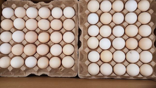 Инкубационные яйца броллера