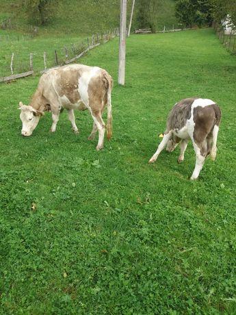 vand vaca de 4 ani buna de lapte cu vitea de 4 luni baltata românească