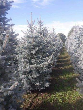 Copaci si arbuști ornamentali