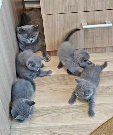 Pui de pisica, British