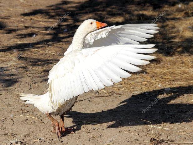 Ощип гусей и др птицы.
