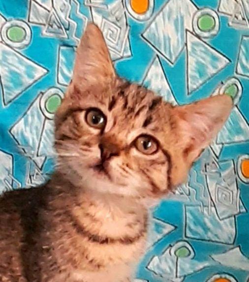 Отдам прелестную полубенгалку девочку-котенка, 2,5 мес.