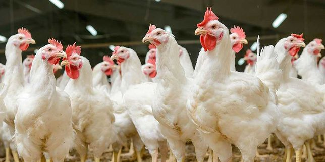 Домашние Курицы 20шт, Петухи 2 штуки