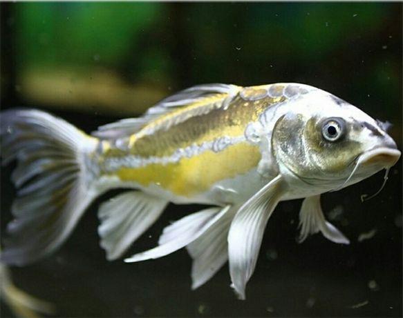 золотые рыбки камета и карпы