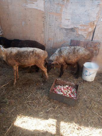 Сельхоз животные баран. Кой