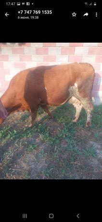 Продам двух доенных коров Алатауской породы с телятами