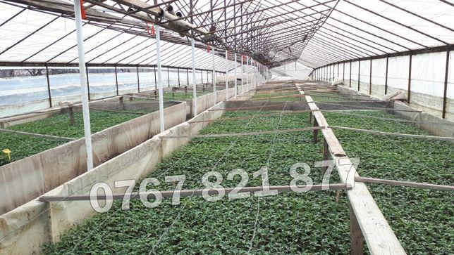 Rasaduri de rosii / tomate ardei vinete castraveti 2021