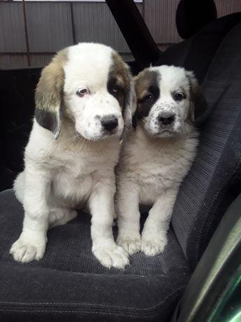Продаются щенки Тобета